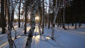χειμερινός πληγωμένος δασικών δέντρων σημύδων απόθεμα βίντεο