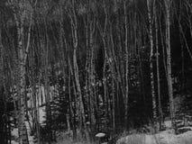 χειμερινός πληγωμένος δασικών δέντρων σημύδων Στοκ εικόνα με δικαίωμα ελεύθερης χρήσης