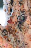 Χειμερινός φλοιός 1 Στοκ φωτογραφίες με δικαίωμα ελεύθερης χρήσης