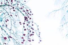 Χειμερινός ashberry κλάδος στο χιόνι και τον πάγο Στοκ εικόνα με δικαίωμα ελεύθερης χρήσης
