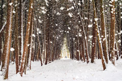 Χειμερινό δάσος, αλέα που καλύπτεται από το χιόνι κατά τη διάρκεια της χιονοθύελλας Στοκ Φωτογραφίες