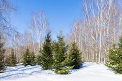 Χειμερινό δάσος στην ηλιόλουστη ημέρα Στοκ Εικόνα