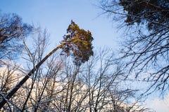 Χειμερινό δάσος στο χιόνι Στοκ Εικόνα