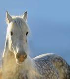 Χειμερινό άλογο Στοκ Εικόνα