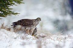 Χειμερινό δάσος με το γεράκι Σκηνή άγριας φύσης από τη φύση της Γερμανίας Πουλί και συνεδρίαση θανάτωσης γερακιών πουλιών του θηρ Στοκ φωτογραφία με δικαίωμα ελεύθερης χρήσης