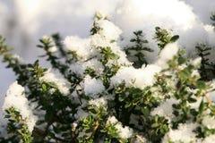 Χειμερινό θυμάρι Στοκ φωτογραφία με δικαίωμα ελεύθερης χρήσης