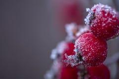 Χειμερινό μούρο του Rowan Στοκ Εικόνα
