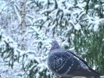Χειμερινό περιστέρι στοκ φωτογραφίες με δικαίωμα ελεύθερης χρήσης
