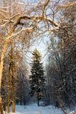 Χειμερινό πεύκο Στοκ εικόνες με δικαίωμα ελεύθερης χρήσης