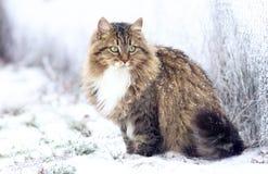Χειμερινό πορτρέτο μιας σιβηρικής γάτας στοκ εικόνα