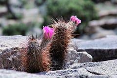 Χειμερινό σκληραγωγημένο Opuntia Στοκ Φωτογραφία