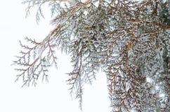 Χειμερινό τοπίο, κινηματογράφηση σε πρώτο πλάνο arborvitae κλάδων Στοκ εικόνες με δικαίωμα ελεύθερης χρήσης
