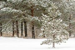 Χειμερινό τοπίο με τα δέντρα πεύκων στοκ φωτογραφία με δικαίωμα ελεύθερης χρήσης