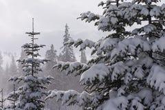 Χειμερινό τοπίο με τα κωνοφόρα Στοκ Εικόνα