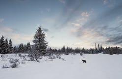 Χειμερινό τοπίο με το κογιότ στοκ εικόνες