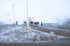Χειμερινό τοπίο στο χωριό Οι αγελάδες πηγαίνουν σε έναν παγωμένο δρόμο πρωινού Στοκ Εικόνα