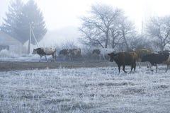 Χειμερινό τοπίο στο χωριό Οι αγελάδες πηγαίνουν σε έναν παγωμένο δρόμο πρωινού Στοκ Εικόνες