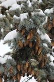 Χειμερινό υπόβαθρο με τα πράσινα δέντρα πεύκων Χριστουγέννων Στοκ Εικόνες