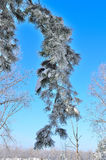 Χειμερινό υπόβαθρο με τον παγωμένο κωνοφόρο κλάδο Στοκ Εικόνες