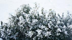 Χειμερινό υπόβαθρο με το παγωμένο πυξάρι Στοκ Φωτογραφία