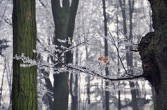 Χειμερινό υπόβαθρο των κιτρινισμένων κλαδάκι φύλλων του παγετού Στοκ εικόνες με δικαίωμα ελεύθερης χρήσης