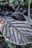 Χειμερινό φύλλο στοκ εικόνα με δικαίωμα ελεύθερης χρήσης