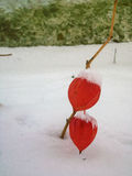 χειμερινό χιόνι εγκαταστάσεων physalis Στοκ φωτογραφίες με δικαίωμα ελεύθερης χρήσης