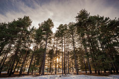 Χειμερινό χιόνι που καλύπτει το αειθαλές δασικό τοπίο ξύλων δέντρων πεύκων Στοκ Φωτογραφία