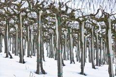 Χειμερινό Barbera λεπτομέρεια αμπελώνων Εικόνα χρώματος Στοκ Εικόνες