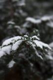 Χειμερινό thuja Στοκ εικόνες με δικαίωμα ελεύθερης χρήσης
