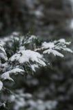 Χειμερινό thuja Στοκ Φωτογραφίες