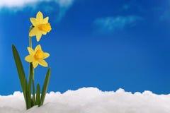 Χειμώνας άνοιξης: daffodils στο χιόνι Στοκ Φωτογραφία