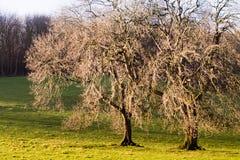 χειμώνας δέντρων δύο Στοκ εικόνα με δικαίωμα ελεύθερης χρήσης