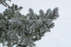 Χειμώνας αειθαλής στο χιονώδες κλίμα στοκ φωτογραφίες με δικαίωμα ελεύθερης χρήσης