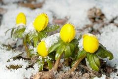 χειμώνας ακονίτων στοκ φωτογραφία με δικαίωμα ελεύθερης χρήσης