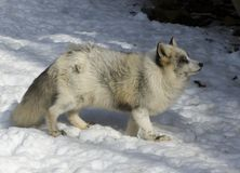 χειμώνας αλεπούδων Στοκ Φωτογραφίες