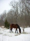 χειμώνας αλόγων βοσκής στοκ φωτογραφία με δικαίωμα ελεύθερης χρήσης