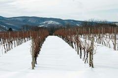 χειμώνας αμπέλων Στοκ Εικόνες