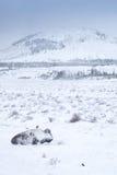 χειμώνας βισώνων Στοκ φωτογραφία με δικαίωμα ελεύθερης χρήσης