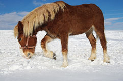 χειμώνας βοσκής Στοκ Εικόνες