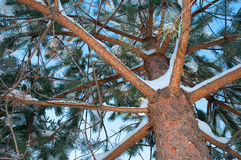 χειμώνας δέντρων πεύκων Στοκ εικόνα με δικαίωμα ελεύθερης χρήσης