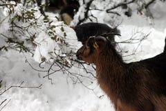 χειμώνας εποχής κοπαδιών αιγών Στοκ Εικόνες