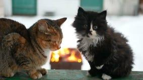Χειμώνας εστιών γατών απόθεμα βίντεο