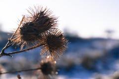 Χειμώνας ζιζανίων λουλουδιών ενάντια στο χιόνι Στοκ εικόνα με δικαίωμα ελεύθερης χρήσης