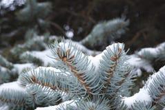 χειμώνας κλαδακιών έλατο Στοκ φωτογραφία με δικαίωμα ελεύθερης χρήσης