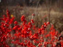 Χειμώνας: κόκκινα μούρα στη Νέα Αγγλία Στοκ εικόνα με δικαίωμα ελεύθερης χρήσης