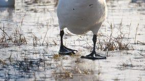 Χειμώνας κύκνων στη λίμνη φιλμ μικρού μήκους