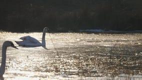 Χειμώνας κύκνων στη λίμνη απόθεμα βίντεο