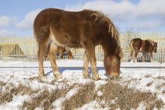 Χειμώνας Μικρά foals παίρνουν τα τρόφιμά τους από κάτω από το χιόνι Στοκ Εικόνα