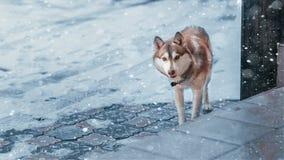 χειμώνας οδών εστίασης σκυλιών Στοκ φωτογραφία με δικαίωμα ελεύθερης χρήσης